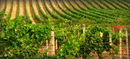 Vinohrady - vinice